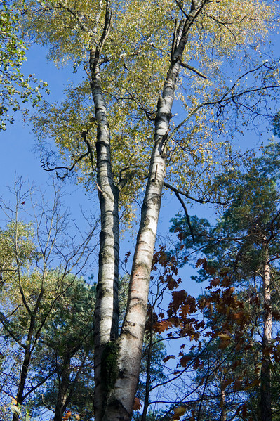 Birch trees in Herpen