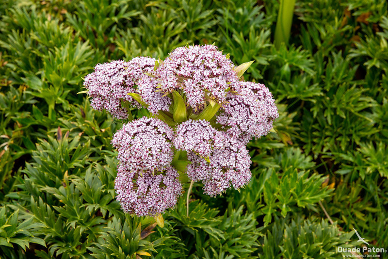 Anisotome latifolia