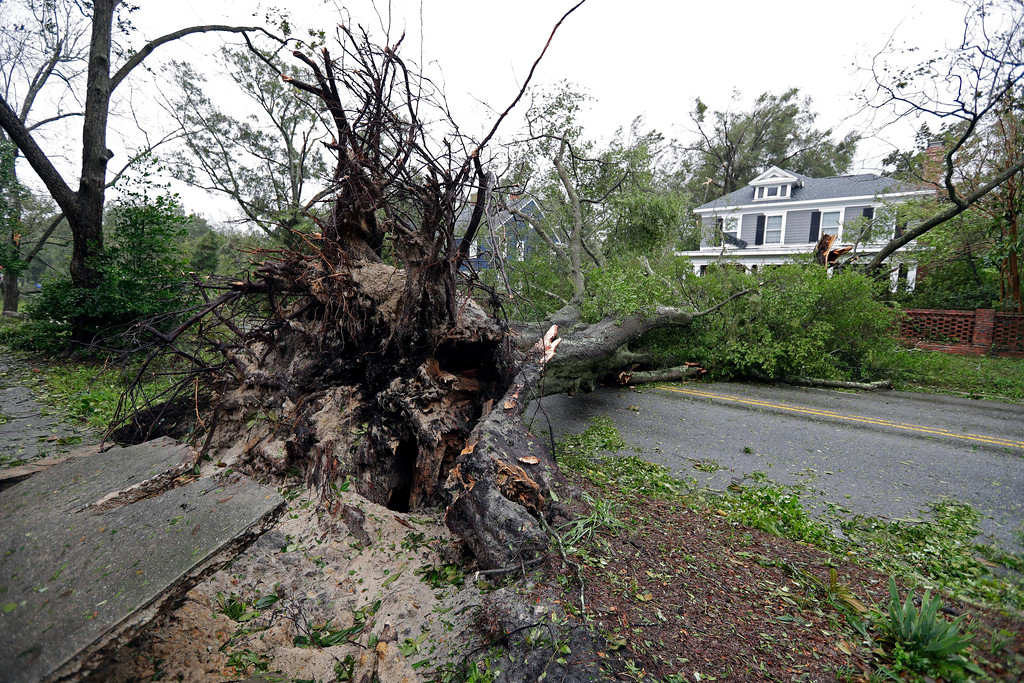 . A tree uprooted by strong winds lies across a street in Wilmington, N.C., after Hurricane Florence made landfall Friday, Sept. 14, 2018. (AP Photo/Chuck Burton)