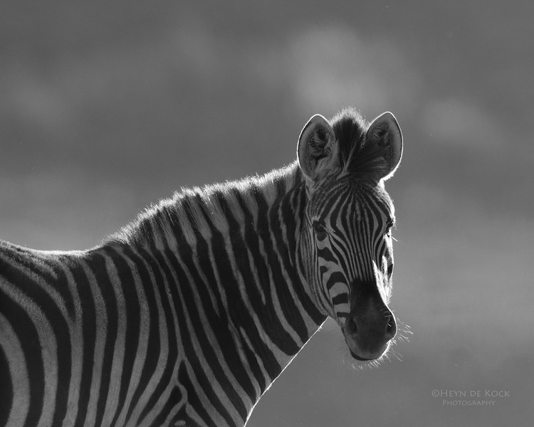 Plains Zebra, bw, Goldengate NP, FS, SA, Oct 2016-3.jpg