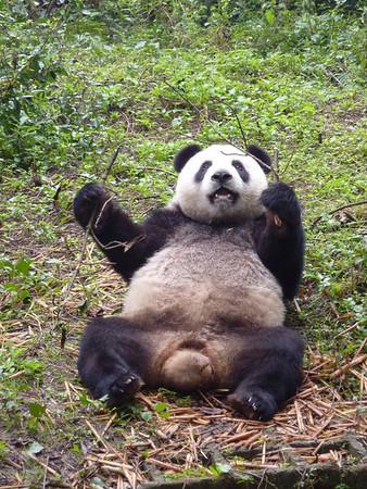 Chengdu - Giant Panda Breeding Research Base