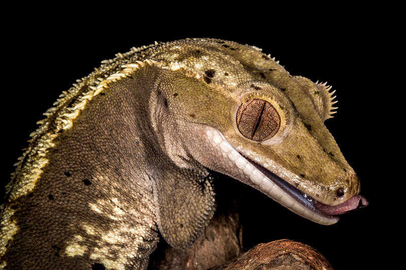 Crested New Caledonia Gecko (Correlophus ciliatus) captive