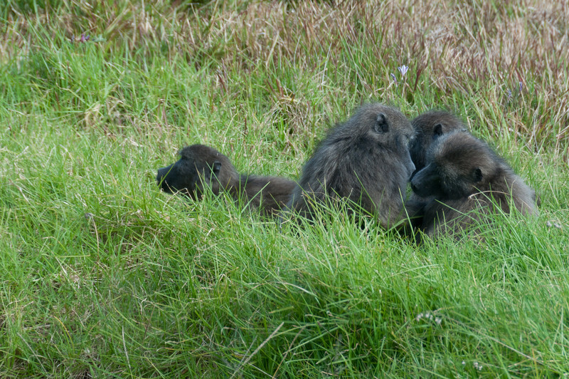 Chimps in Cape Point, South Africa