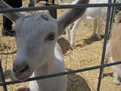 Goats at Redwood Hill Farms - May 2011