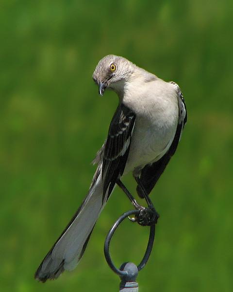 mockingbird_0676.jpg