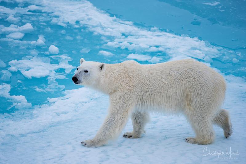 150630_Polar Bear at Ship_9682.jpg