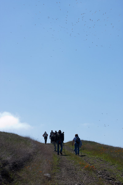 Hikers continue up towards the top of Coyote Ridge with a squillion seagulls overhead--they seemed to follow us up the road.