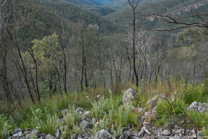 Looking down to the Kowmung off Brumby Ridge - note the Flannel Flowers