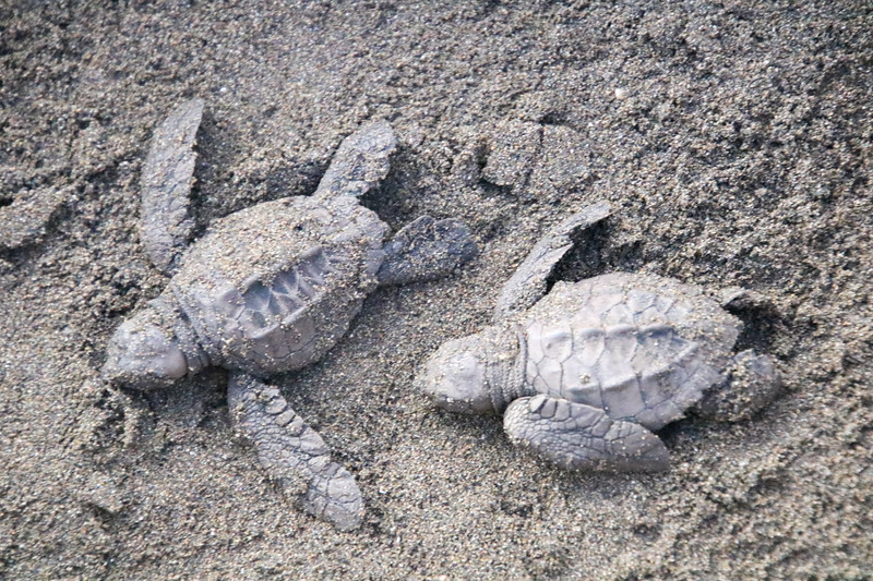 Oliver Ridley Turtles released back into the ocean