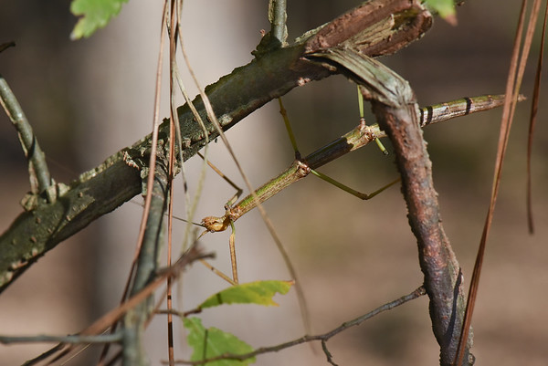 Phasmatodea (Phasmida) – Stick Insects