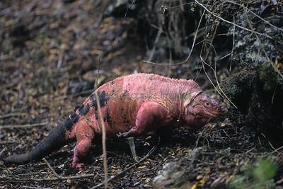 Pink Iguanas; Volcan Wolf, Galapagos Islands