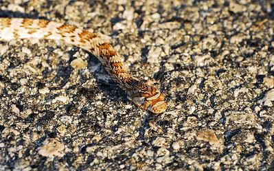 California Lyre Snake