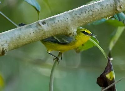 Bluewinged Warbler