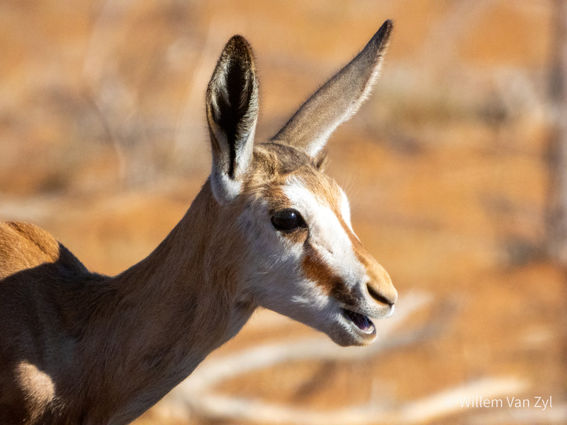 20190705 Springbok (Antidorcas marsupialis) from Olifantshoek, Northern Cape