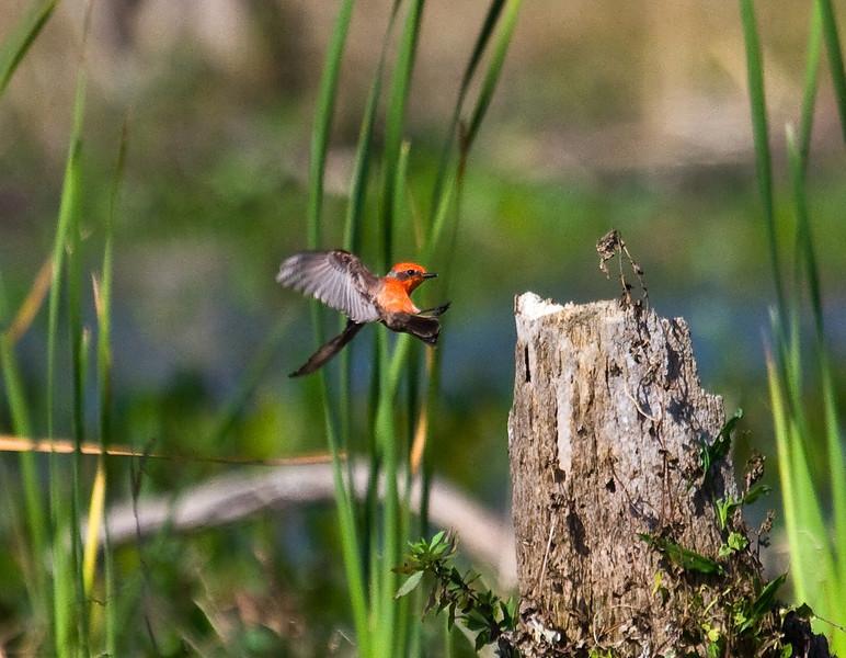 vermillion flycatcher