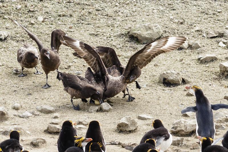 Brown Skua (Stercorarius antarcticus lonnbergi)