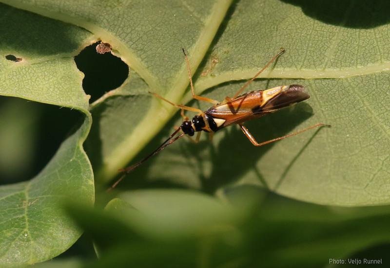 Cyllecoris histrionius
