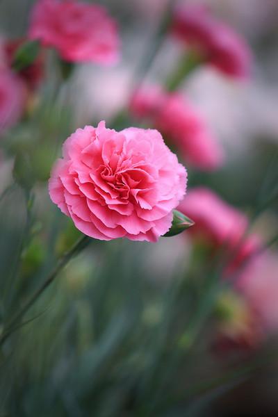 Pink7.jpg