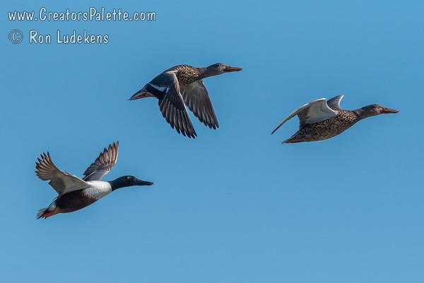 Wild Ducks (Non-Domestic Ducks)