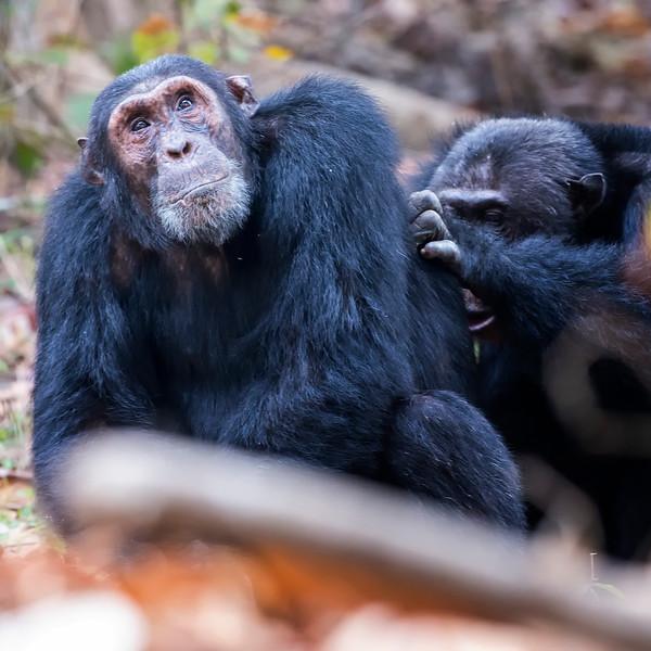 Darwin being groomed