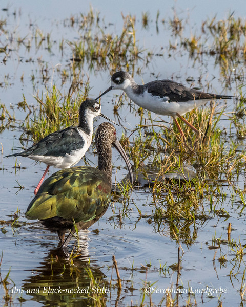 _DSC7892Ibis & Black-necked Stilt.jpg