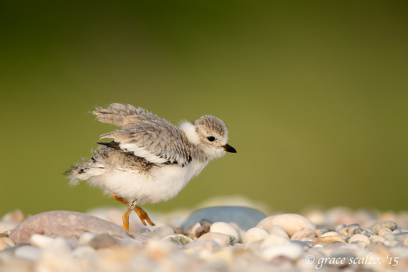 Piping Plover Fledgling shaking