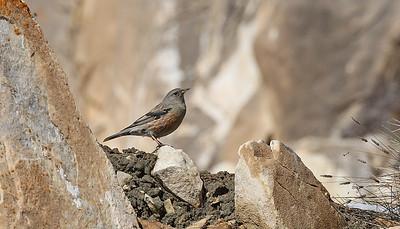 Alppirautiainen (Prunella collaris)