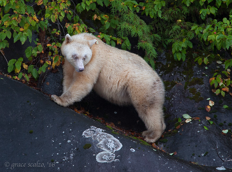 Spirit Bear on cliff