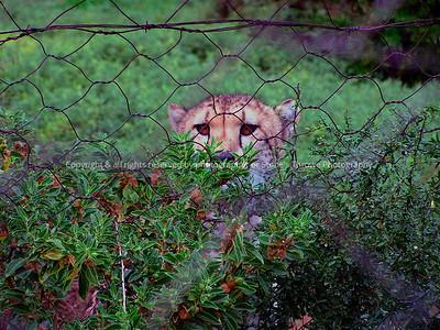 025-cheetah-nlg_so_africa-15jul06-2617