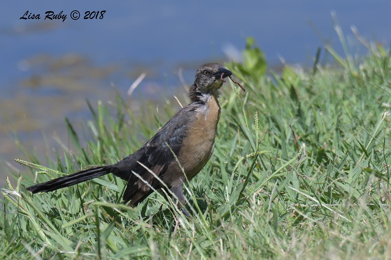 Great-tailed Grackle  - 8/26/2018 - Santee Lakes