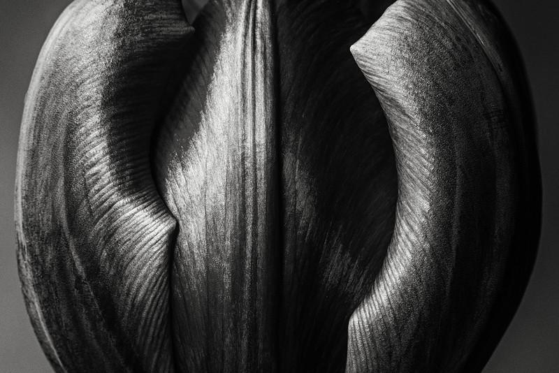 purple-tulip-02.jpg