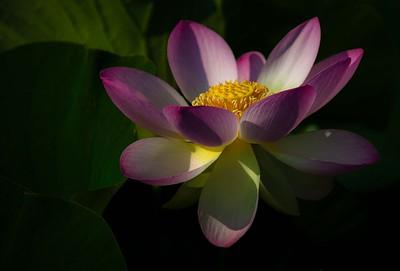 Lotus / Water Lilies  2012