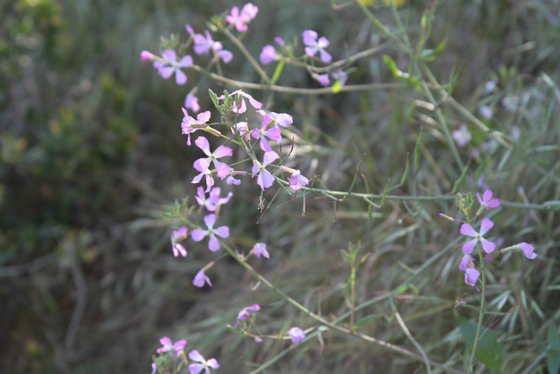 Wild Radish, Raphanus sativus, not native