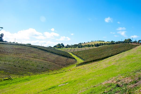 Vineyard on Waiheke Island near Auckland, North Island, New Zealand