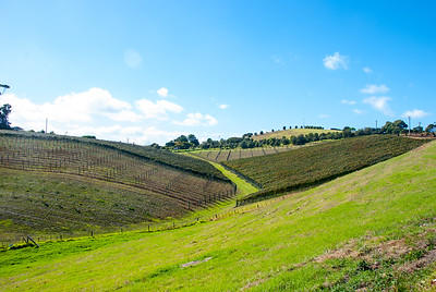 Vineyard on Waiheke Island near Auckland, North Island, New Zealand