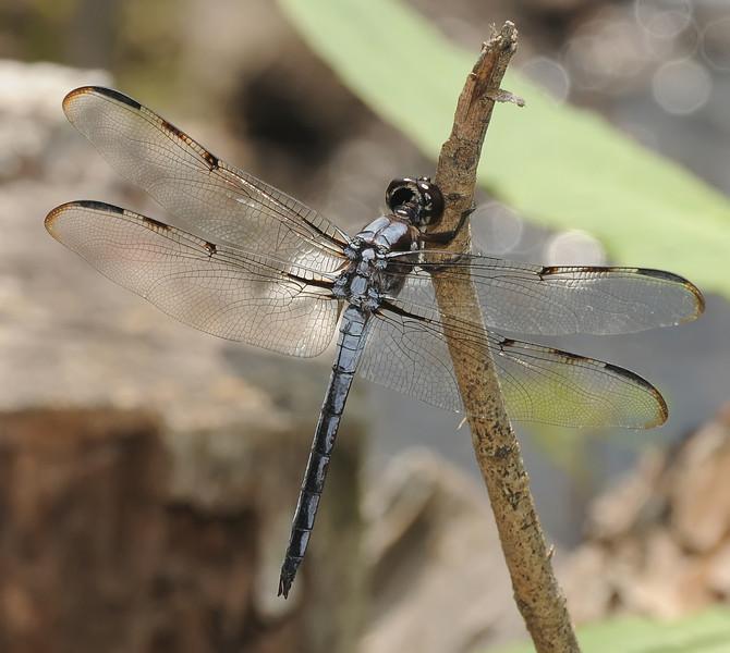 Libellula axilena (Bar-winged Skimmer), GA
