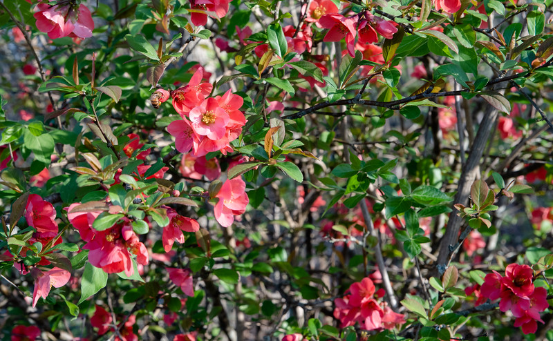 Quince and visitor
