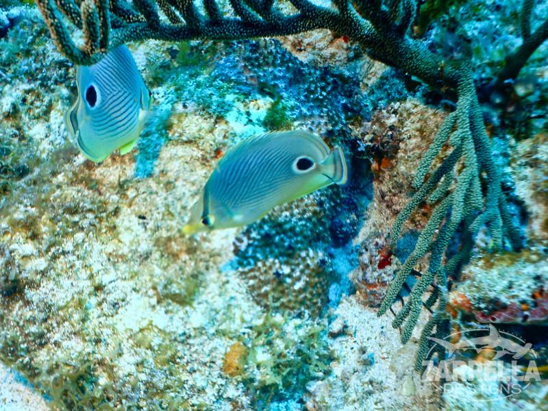 """Butterfly Fish"" (Fishbowl Reef, St. Maarten)"