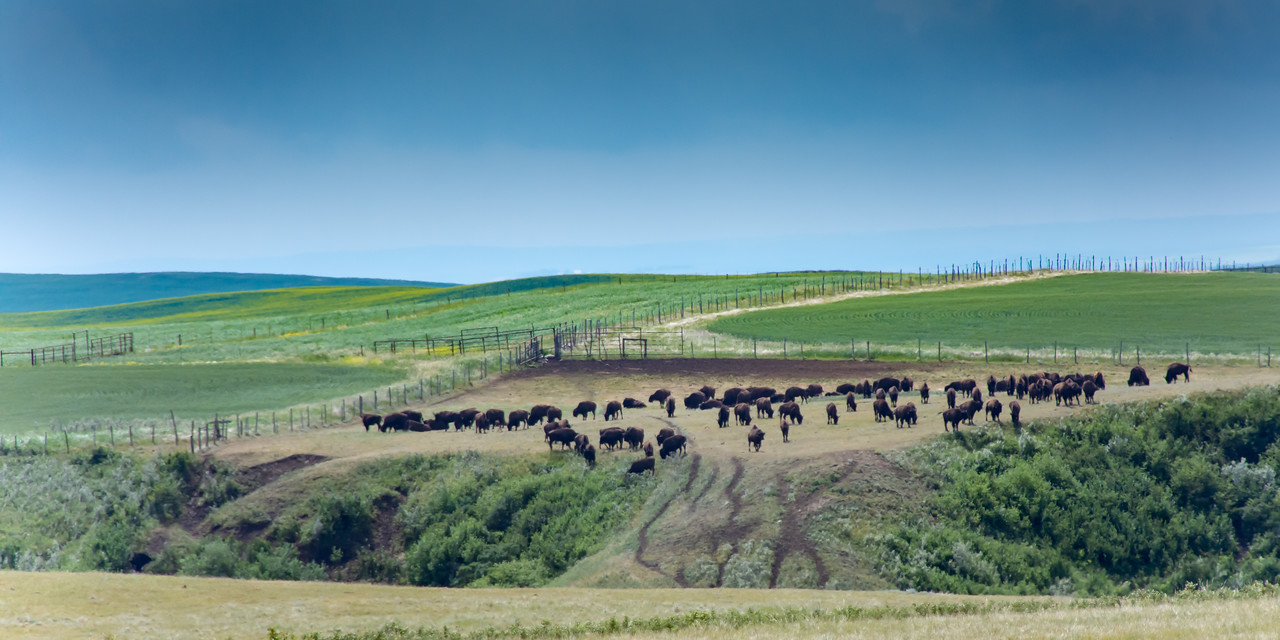Grazing Buffalo in Alberta, Canada
