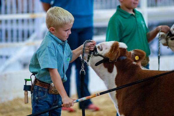Tulsa Mini Hereford Steers