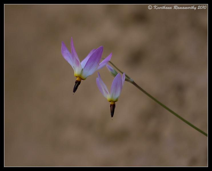 Shooting Star Flower, Zion National Park, Utah, May 2010