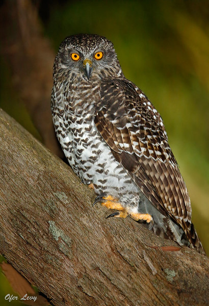 Powerful Owl 3.jpg