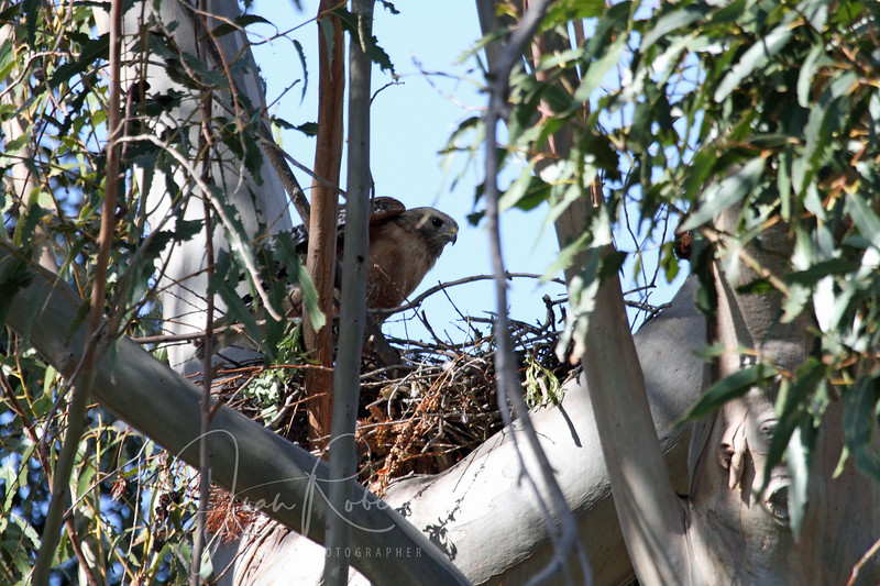 Lots of stick and leaf action at the Hawlk nest. I don't see mom lying there, however.
