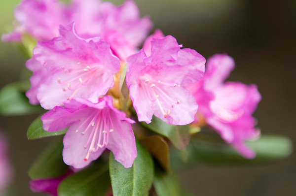 Rhododendrons of Invincible Drive