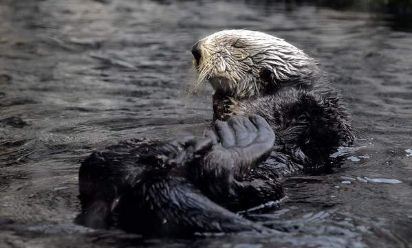 STELLER SEA LIONS & SEA OTTERS