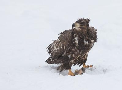 Eagle Season 2015/16