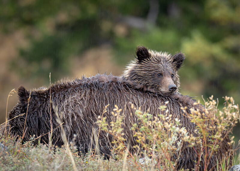 Grizzly, Yellowstone National Park