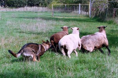 2007.9 Herding at Bonnie's