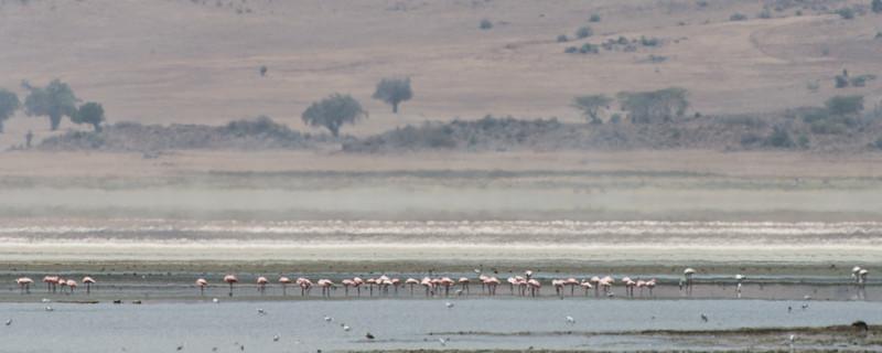 Flamingos, Ngorongoro