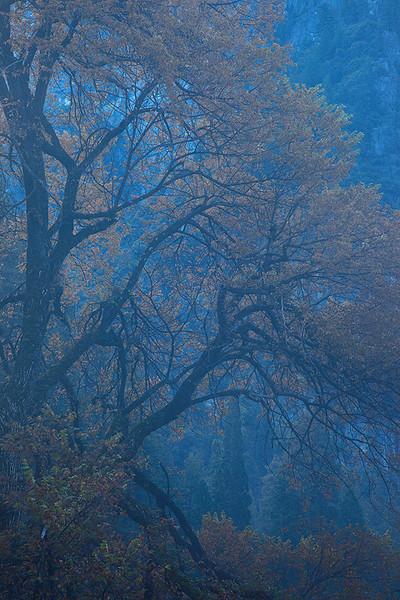 Yosemite Elm Tree in Fall
